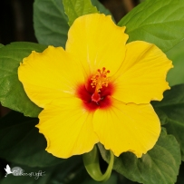 yellow hibiscus, butterfly pavilion