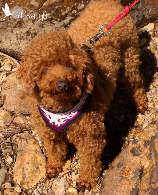red miniature poodle, dog