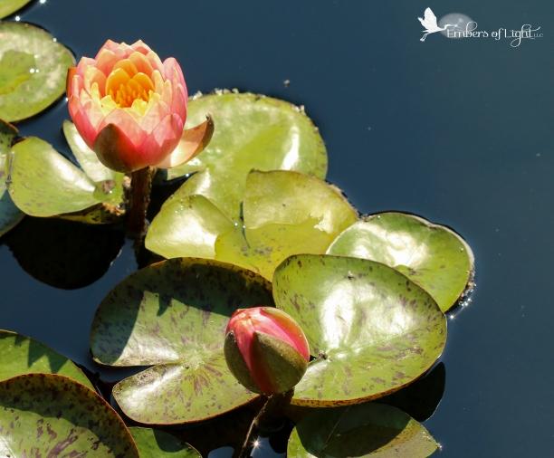 Peach water lilies