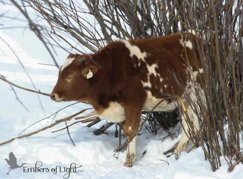 red calf