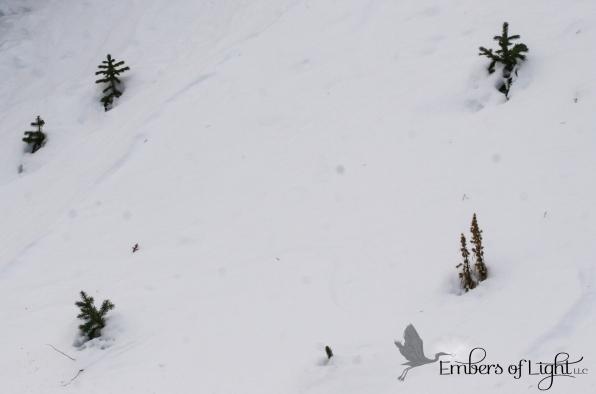 pine saplings in snow