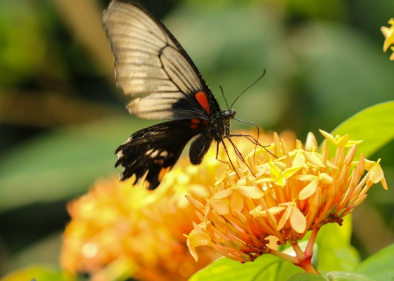 butterfly, orange flowers