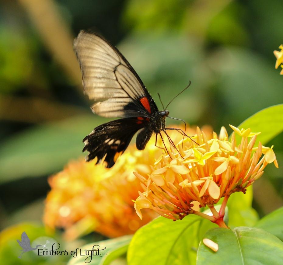 butterfly, orange flowers