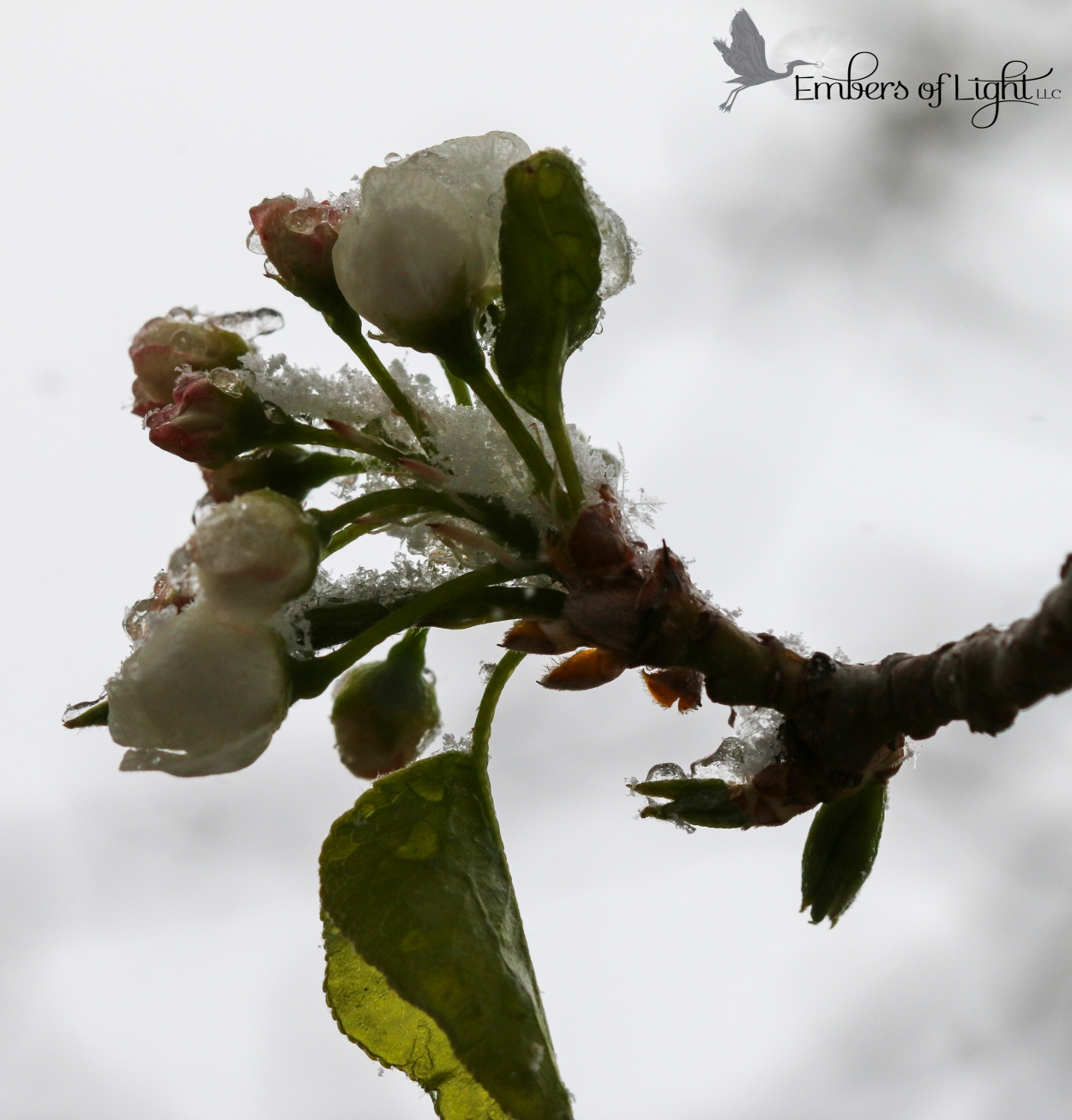 snowy blossom