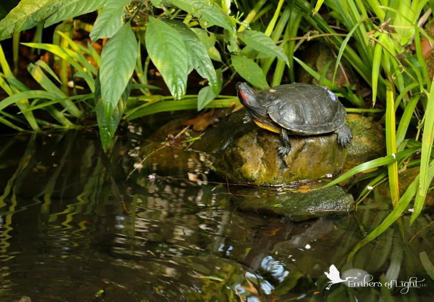 turtle, pond