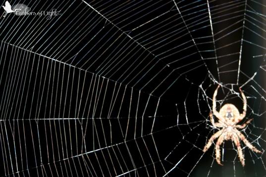spider, spider web