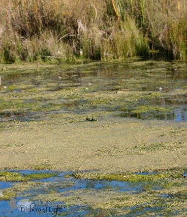 stagnant water; algae