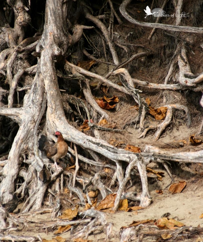 chicken, tree roots