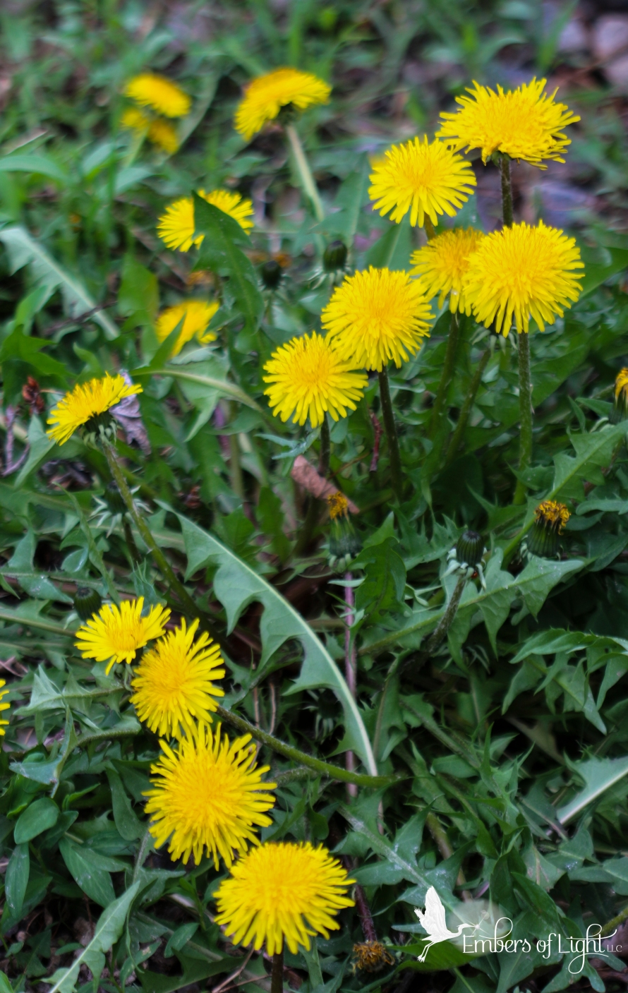 dandelion plants and flowers