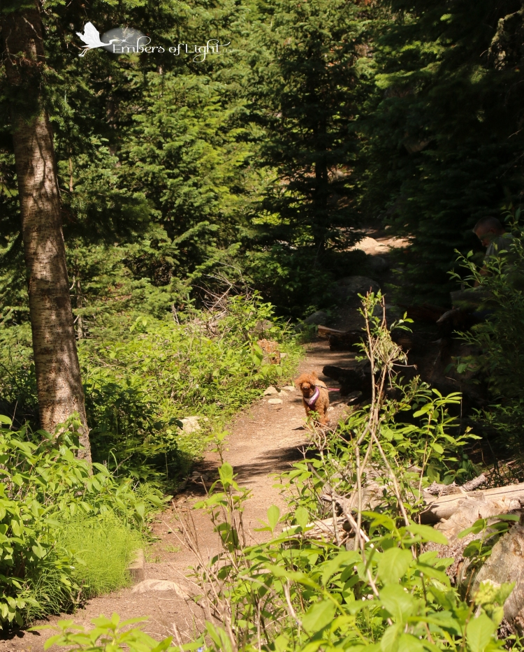 miniature poodle on forest trail