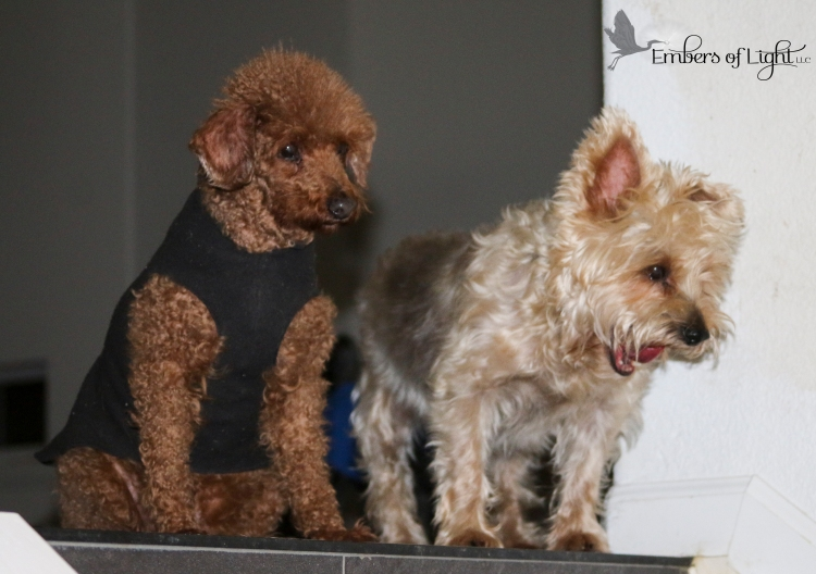 miniature poodle and silky terrier