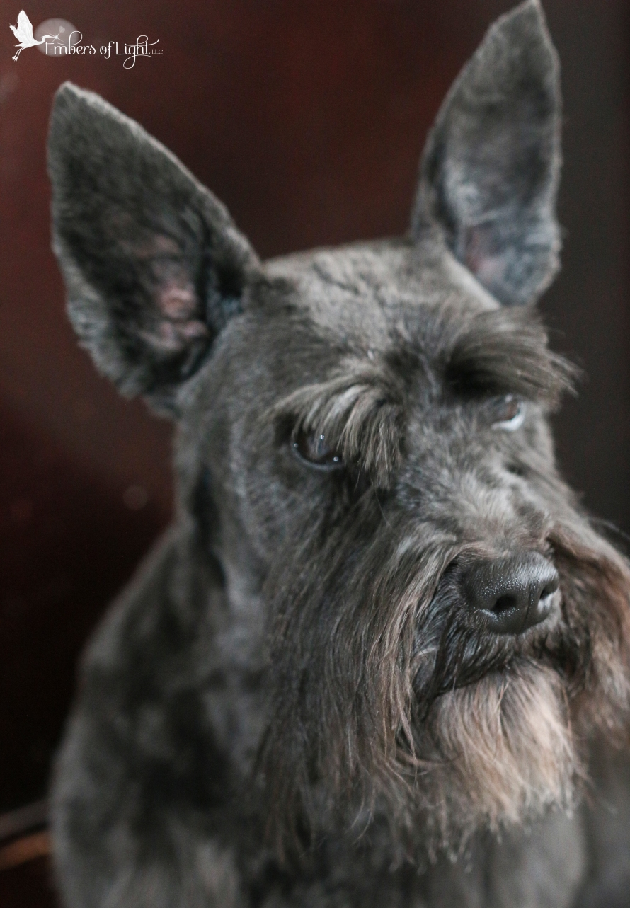Schnauzer mix dog