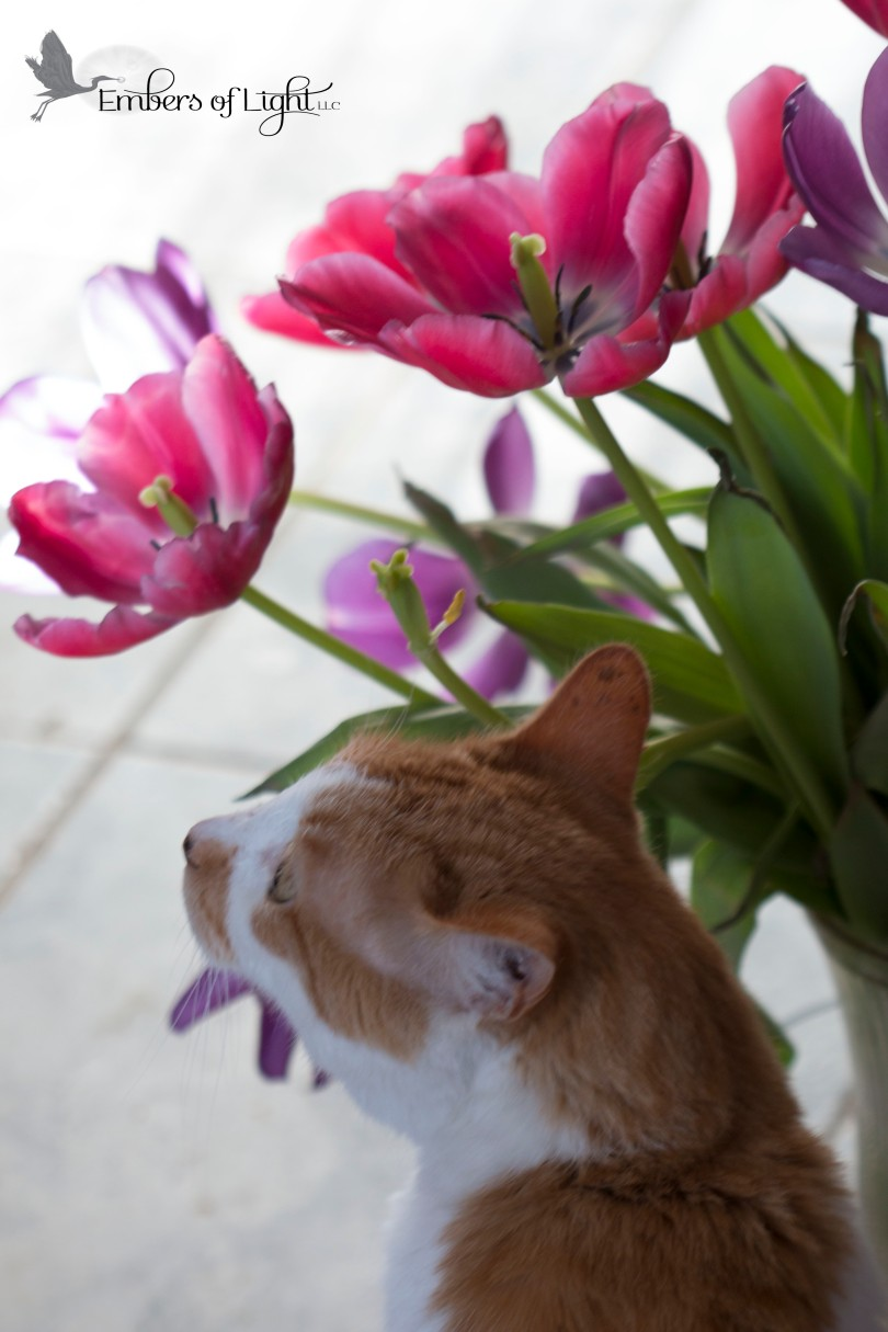 orange cat, tulips