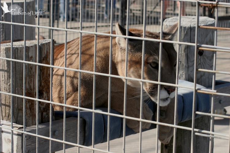 mountain lion, cage, cougar