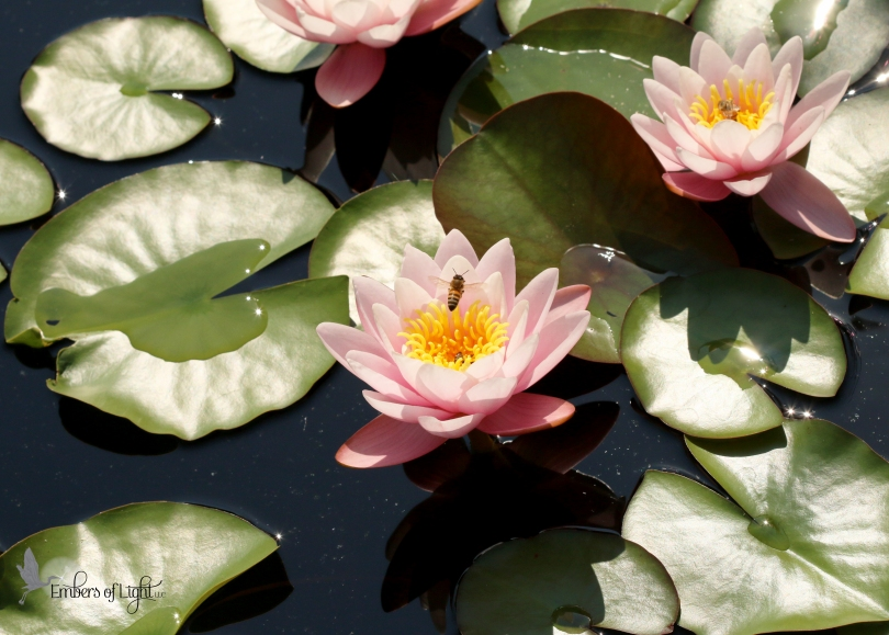 pink water lilies, bees, lily pads
