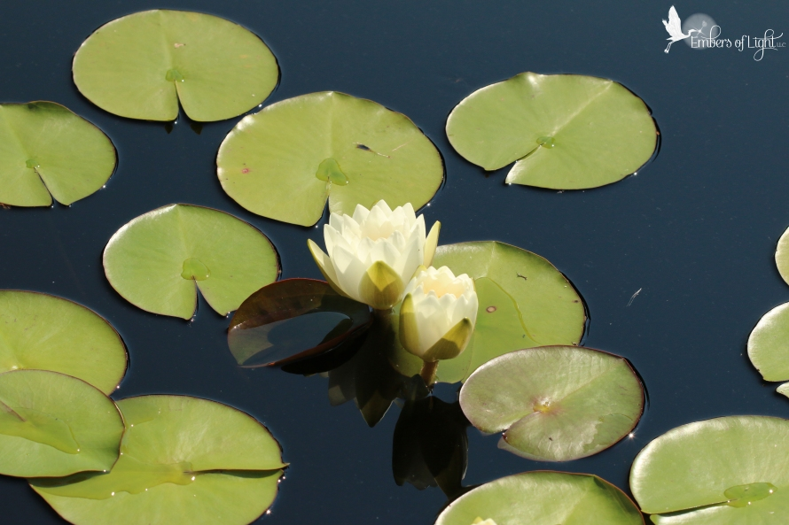 white water lilies, lily pads