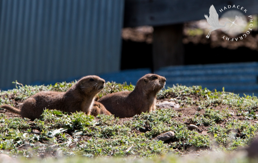 prairie dogs; black-tailed prairie dog