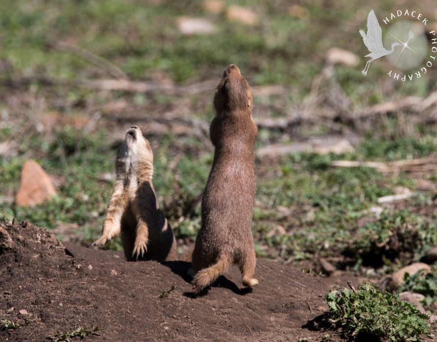 prairie dog jump-yip