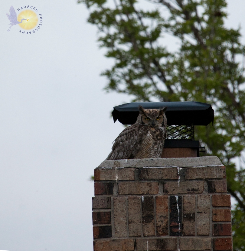great horned owl on a chimney