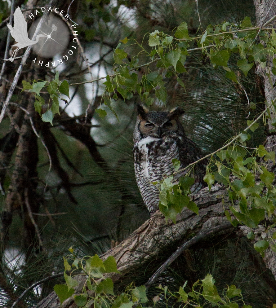 female great horned owl