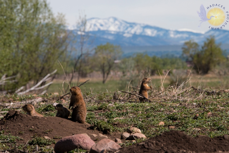 prairie dogs, Rocky Mountain foothills