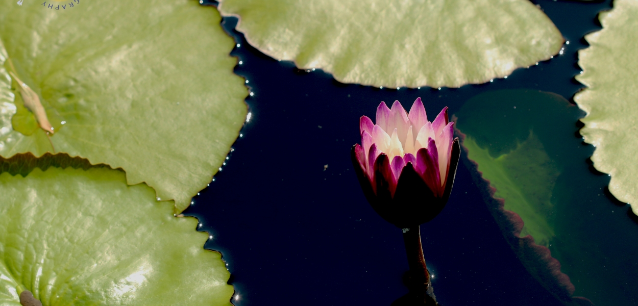 fuchsia water lily