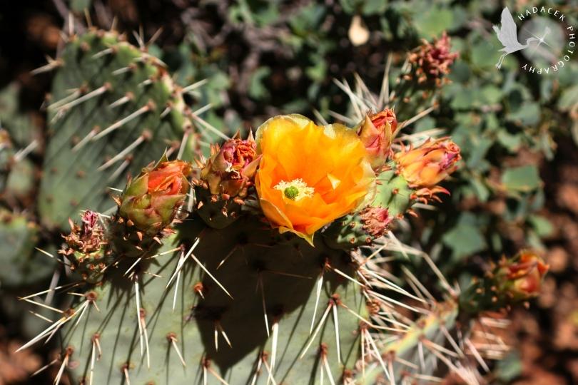 cactus flower, cactus