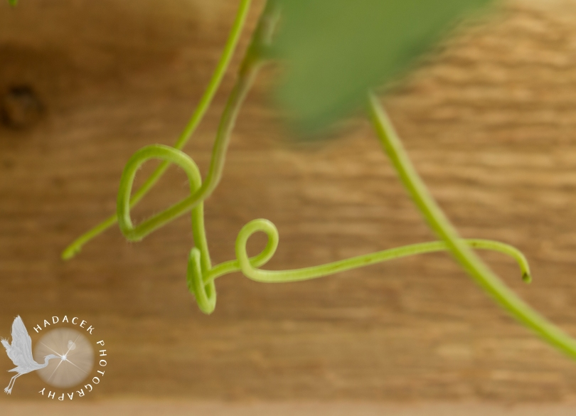 grape vine tendril