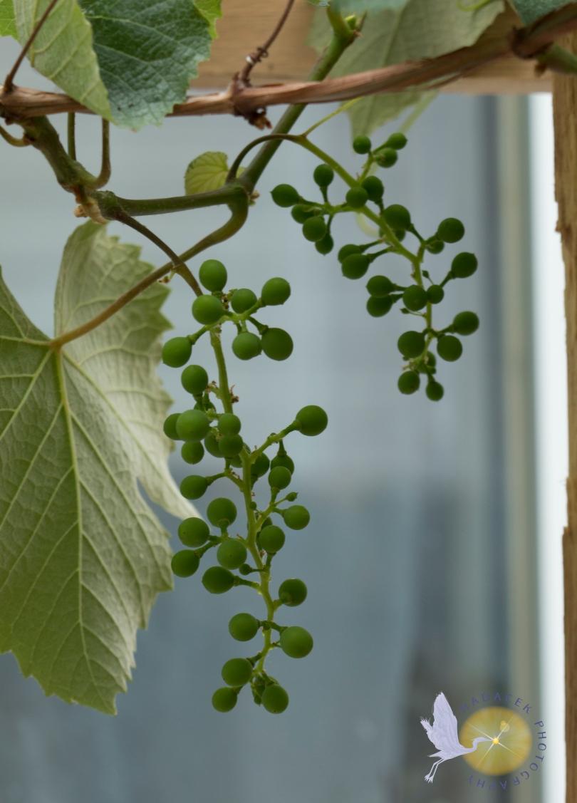 unripe grapes, immature grapes, green grapes