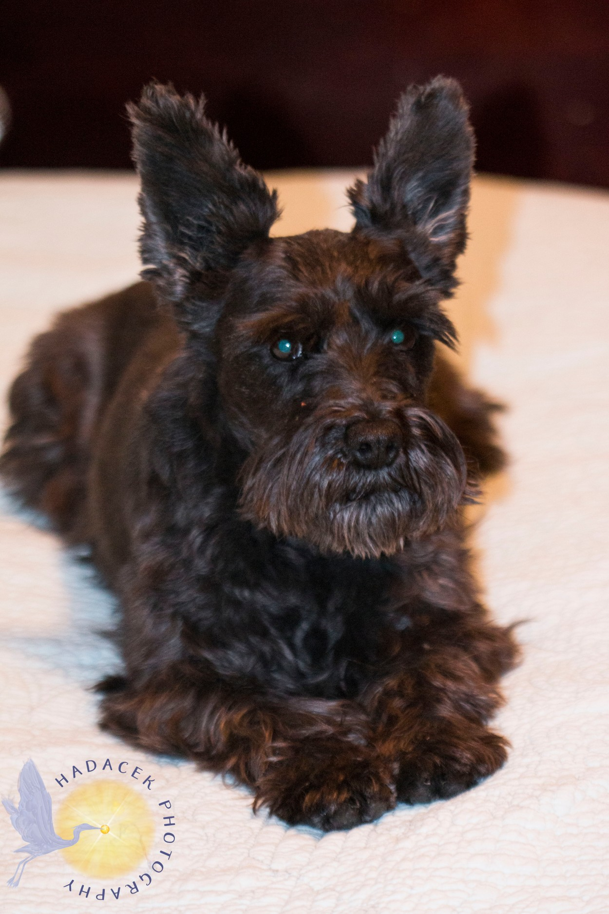 black schnauzer mix dog