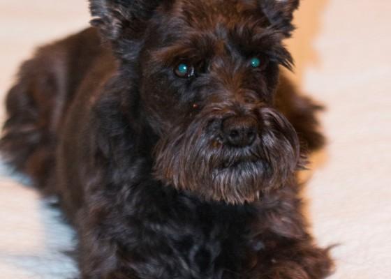 black schnauzer mix dog