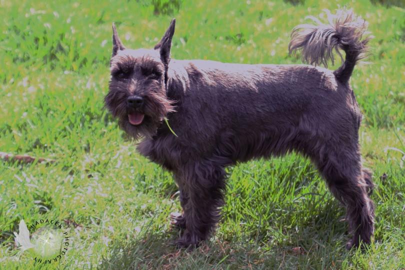 Schauzer mix dog