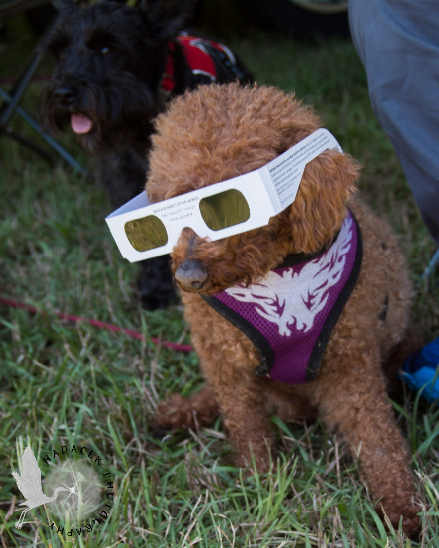 dog in eclipse glasses