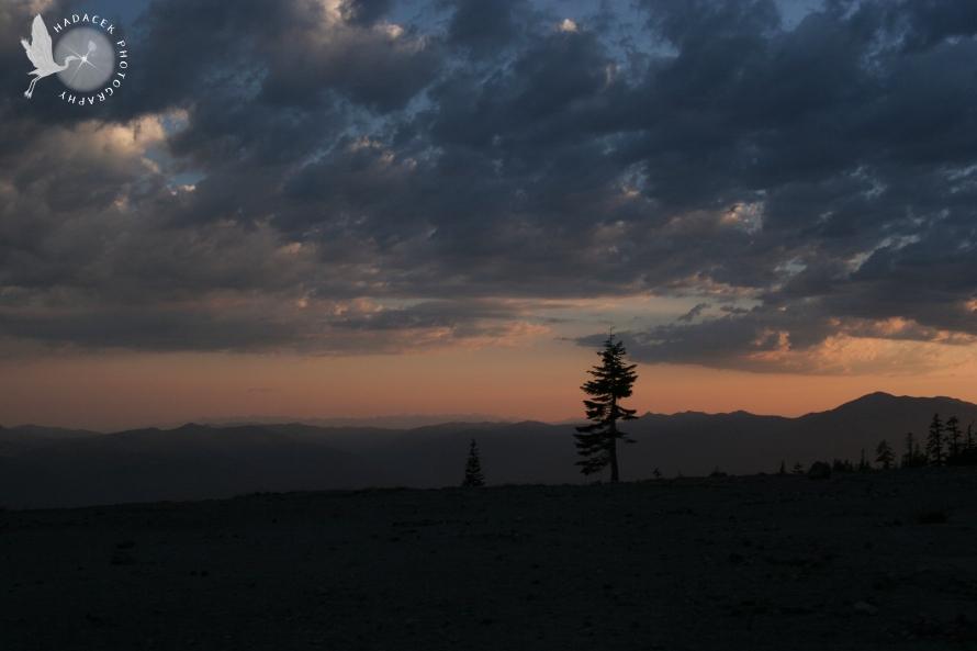 Mt. Shasta Pine