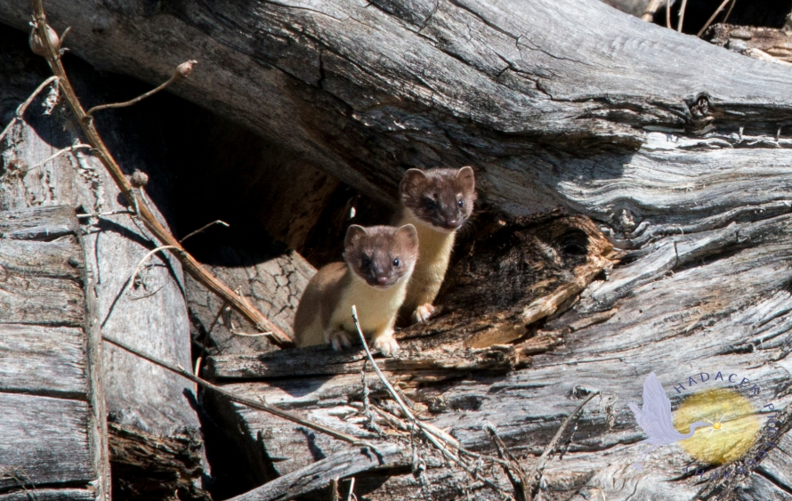 long-tail weasel couple