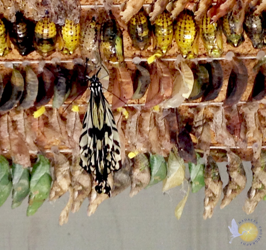 butterfly; cocoons