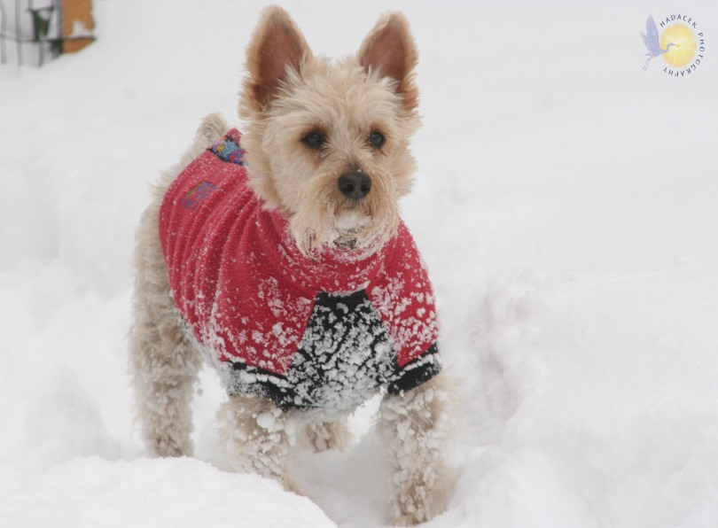silky terrier in snow