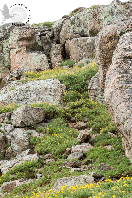 alpine flowers, granite rocks