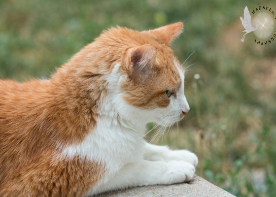 orange and white cat