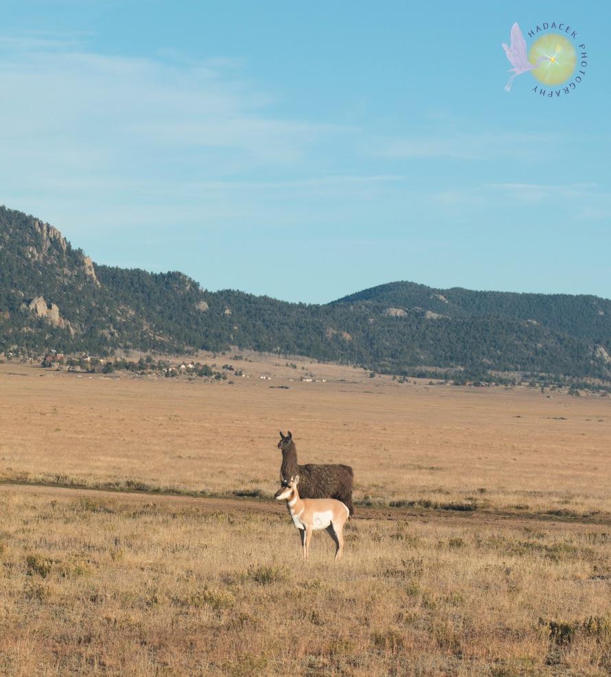 antelope and llama