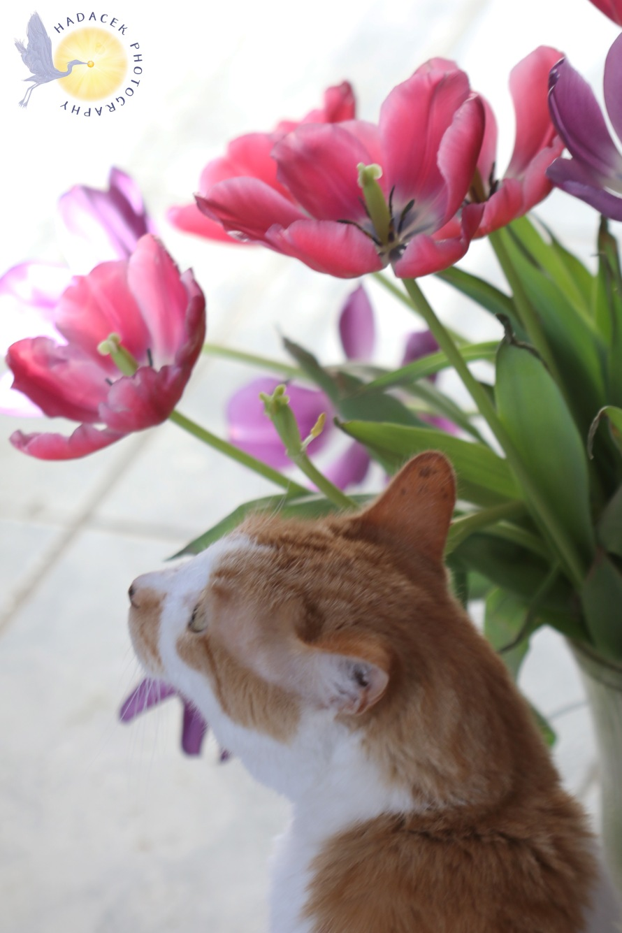 orange and white cat with pink tulips