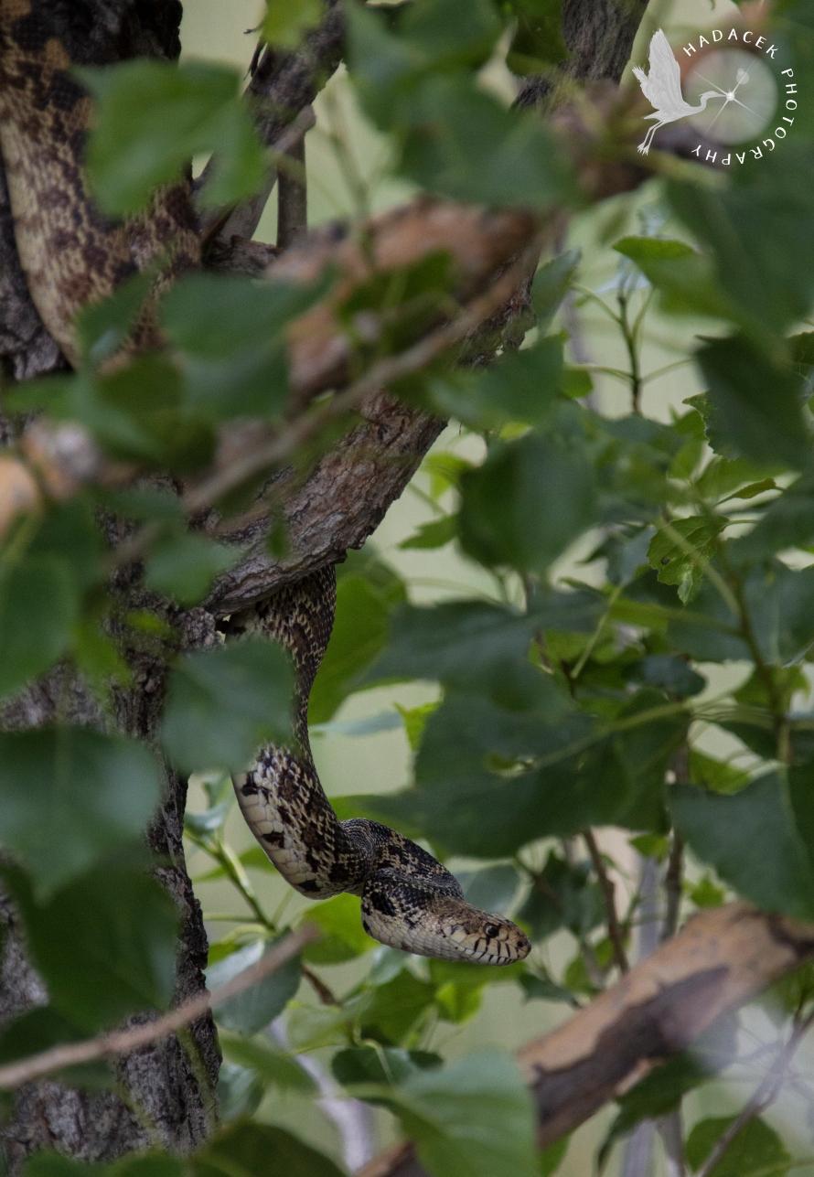 bull snake in a tree