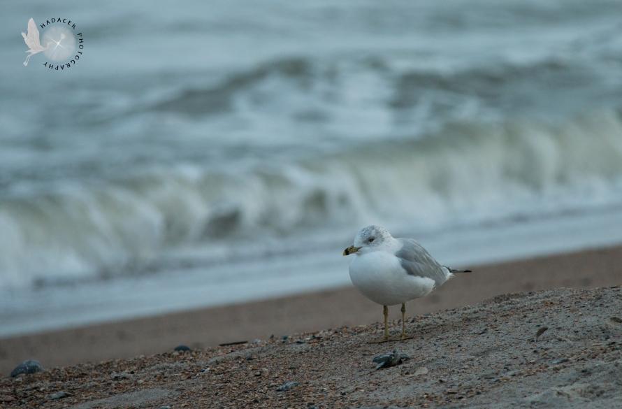 gull, ocean