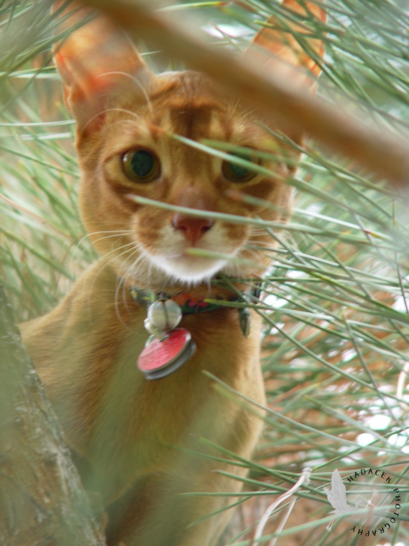 abyssinian cat in pine tree