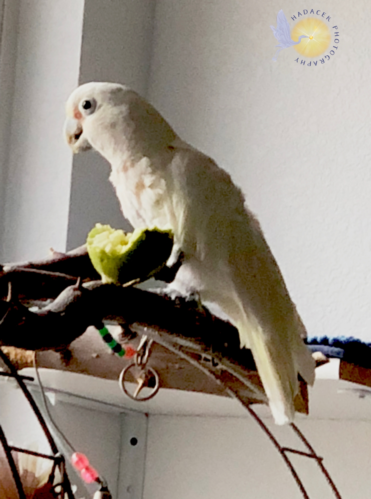 goffin's cockatoo, white parrot