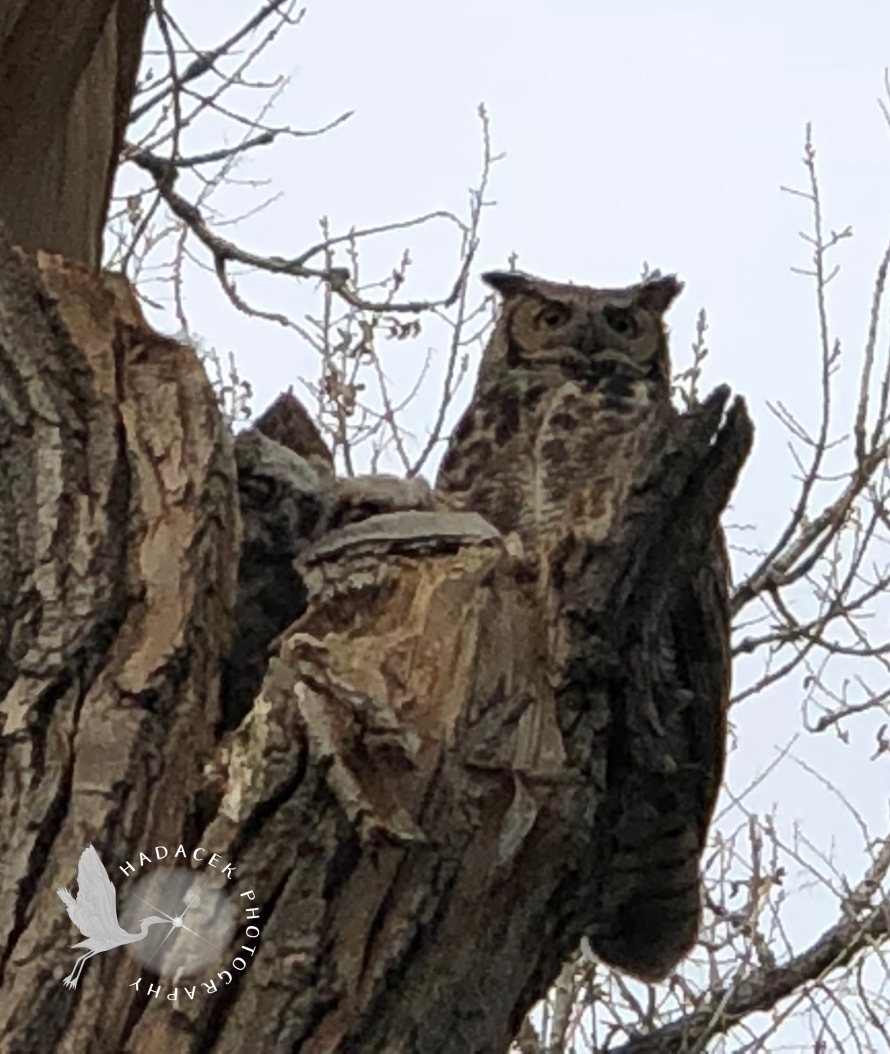 great horned owls, owl family