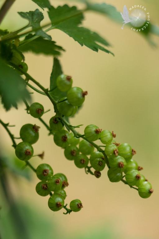 unripe currant berries