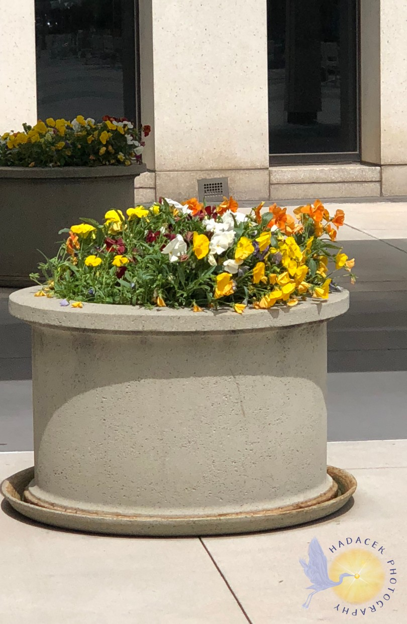planter of pansies