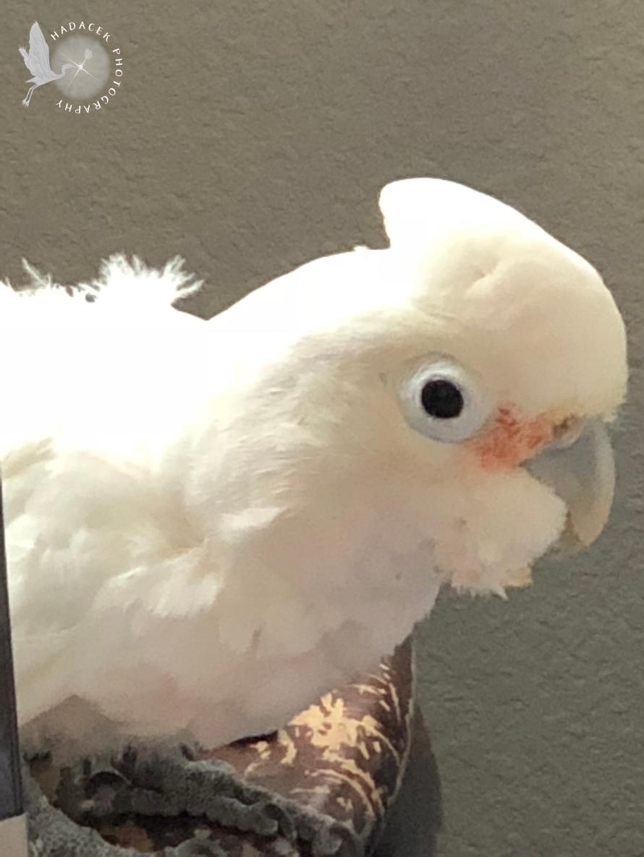 goffin's cockato