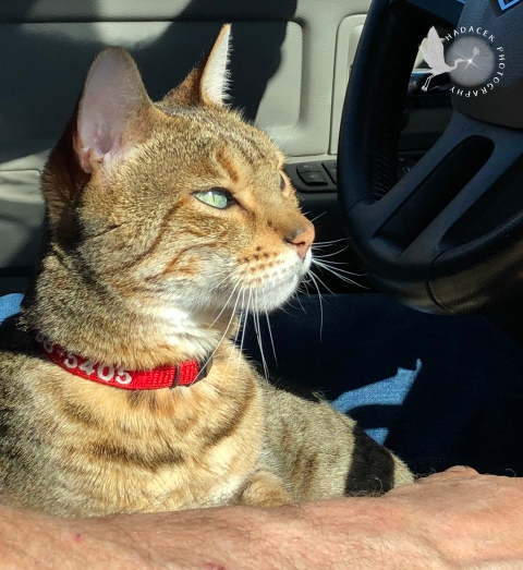 cat in driver's lap